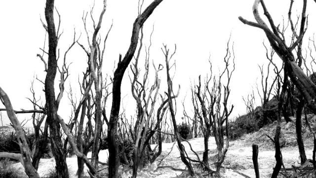 vegetasi mati di hutan mati