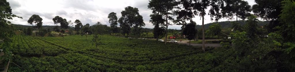 panorama kebun teh